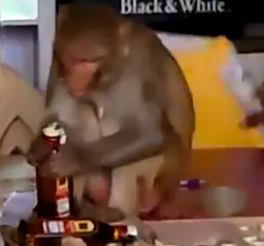 Маймуна си отваря бутилка уиски и пие от нея