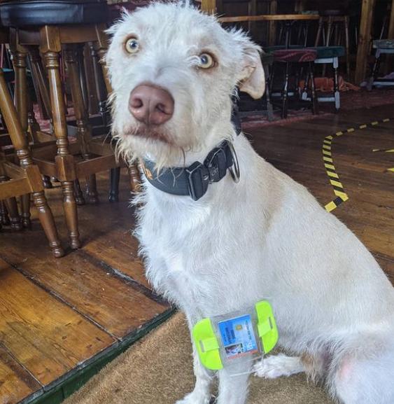 Вижте Беги - кучето, което работи като хост в заведение